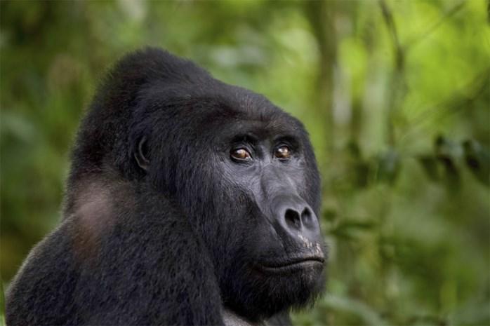 """""""De zilverrug viel me aan"""", maar rechter gelooft stroper niet: zes jaar cel voor moord op gorilla"""