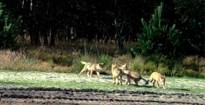 Nieuwe beelden van spelende wolvenwelpjes van Noëlla en August