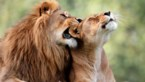 Onafscheidelijk leeuwenpaar krijgt samen spuitje zodat ze niet alleen moeten sterven