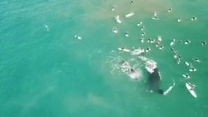 Walvis haalt uit met indrukwekkende move als surfers te dicht bij haar kalfje komen