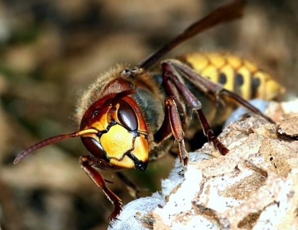 Jongetje (6) doodgestoken door honderden hoornaars