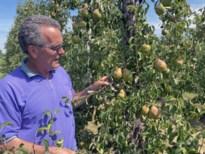 Extreme hitte tast fruit aan: appels en peren verbranden aan de boom