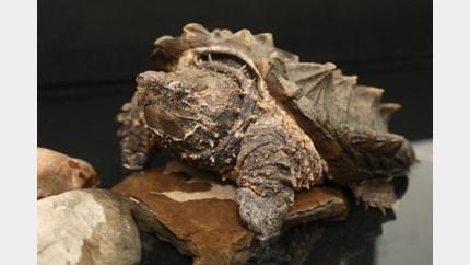 Zwaar verwaarloosde reptielen revalideren in Natuurhulpcentrum