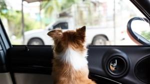 Hond overleden in snikhete wagen: GAIA dient klacht in tegen eigenaar