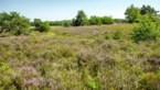 Heide staat weer volop in bloei, maar hittegolf kan spelbreker zijn
