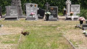 Onkruid en konijnen teisteren begraafplaats