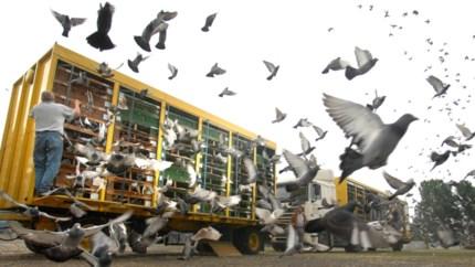 Nieuw: bekijk hier wekelijks alle Limburgse duivenuitslagen