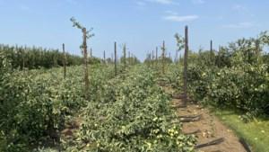 Zomerstorm raast recht over appelplantage: rijen boompjes tegen de vlakte