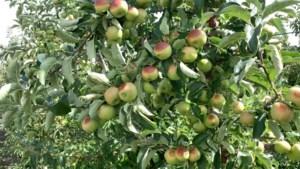 """Zonnebrand op fruit niet gedekt door weersverzekering: """"Schadecommissies moeten dringend op pad"""""""