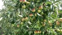 """Zonnebrand op fruit niet gedekt door weersverzekering: """"Schadecommissies moeten dringend op pad worden gestuurd"""""""