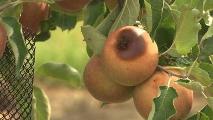 Nieuwe ramp voor fruittelers: appelen beschadigd door vorstschade en zonnebrandschade