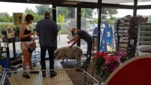 """Varken wandelt Lidl in Leopoldsburg binnen: """"Mensen verlieten uit schrik de parking"""""""