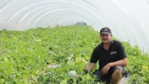 OPROEP. Uniek in België: Hoeselaren kweken cavaillonmeloenen