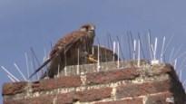 Natuurhulpcentrum redt torenvalk uit anti-duivenpinnen