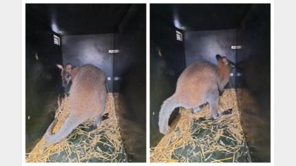 Ontsnapte wallaby na een week gevangen in Kuringen