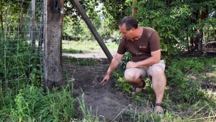 Wolf bijt drie lama's dood in Lommel