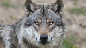 Jonge wolvin ontsnapt nachtje uit Pairi Daiza