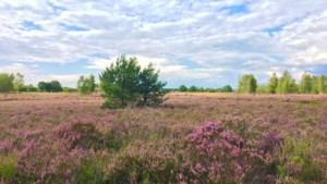 FIETSEN. Door de paarse pracht van Nationaal Park Hoge Kempen