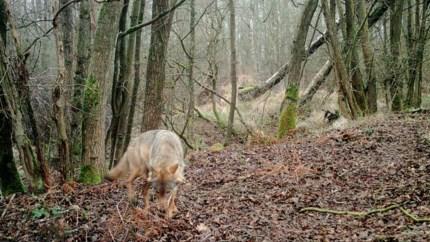 Jachtverbod in wolvengebied wordt niet verlengd