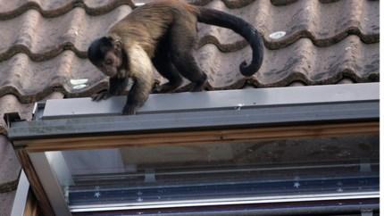 De mysterieuze verdwijning van een aapje in Bocholt