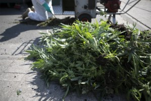 Achttien beklaagden staan terecht voor acht cannabisplantages in Noord-Limburg