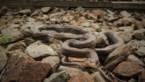 Onderzoekers gaan een jaar lang op slangenjacht langs treinspoor Hasselt