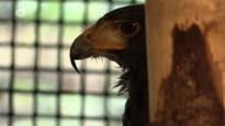 Woestijnbuizerd valt kinderen aan op speelplaats in Neeroeteren: vogel gevangen