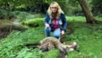 Natuur en Bos roept schapenhouders op 'wolven-McDonald's' te sluiten na aanval in Eksel