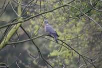 Limburgs Landschap: Domme duif?