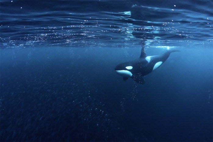Spaanse autoriteiten waarschuwen voor agressieve orka's die kleine plezierboten aanvallen en bijten