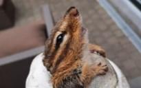 Plakkerige Aziatische grondeekhoorn gevangen in Borgloon