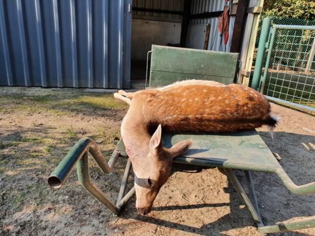 Wolf pakt vierde damhert bij Peerse hobbyboer na eerder bezoek