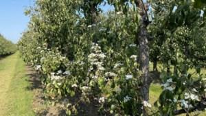 Uitzonderlijk: hete nazomer zet fruitbomen weer in bloei
