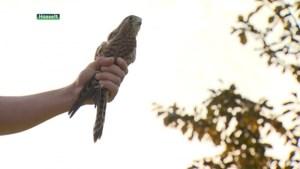 Natuurhulpcentrum laat onder massale belangstelling roofvogels vrij op Herkenrode