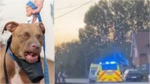 """West-Vlaamse (32) aangevallen door pitbulls: """"Zelfs baasje kreeg honden niet weg. Pure horror"""""""