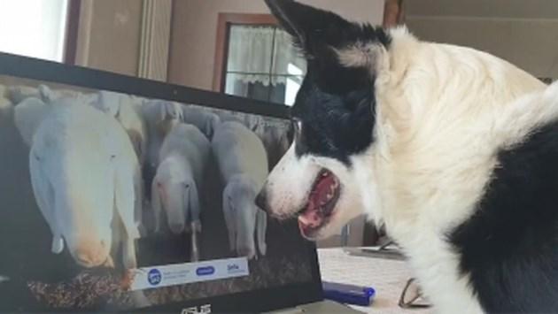 Hilarisch: zelfs herdershonden doen tijdens coronacrisis aan telewerken