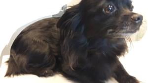 Klein hondje gevonden in Grote Heide: politie zoekt eigenaar