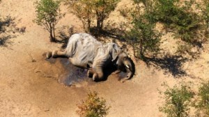 Blauwalg veroorzaakte massale olifantensterfte in Botswana