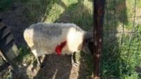 Wolf pakt weer twee schapen in Oudsbergen