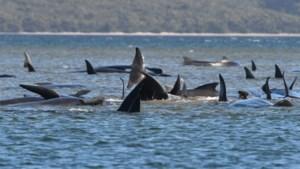 Honderden grienden gestrand op Australische eiland Tasmanië