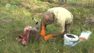 Wolf bijt voor het eerste schaap dood op grondgebied Genk
