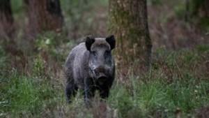 Tien everzwijnen dood na zware klap op grote baan in Oudsbergen