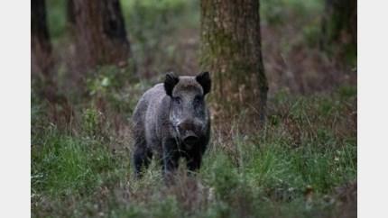 Tien everzwijnen dood na zware klap op grote baan in Plockroy