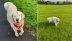Schattig: Golden Retriever wordt blind, maar krijgt eigen geleidehond om hem te helpen