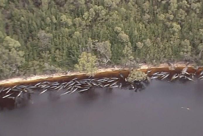 Opnieuw 200 grienden gestrand op zandbanken in Tasmanië