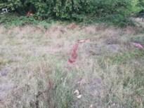 Schaap doodgebeten in Zwartberg en even later 'hoogzwangere' wolf gespot in Houthalen-Oost