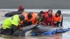 Deel aangespoelde walvissen in Tasmanië wordt ingeslapen, kwart gered