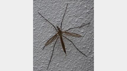 Extra veel langpootmuggen rond uw huis? Dat komt door het warme weer