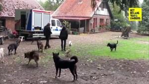 """Drie everzwijnen dood na gevecht met sledehonden: """"En wij stonden machteloos"""""""