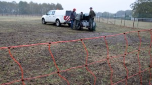 Twee schapen aangevallen door wolf in weide in Lommel